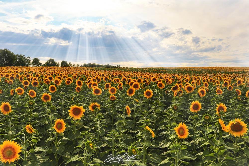 Landschaftsfoto - Sonnenblumenfeld